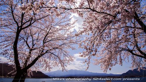 春のひととき-河口湖の桜