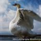 湖畔の白鳥