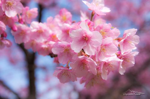 満開の河津桜と菜の花[SAKURA-Japan]