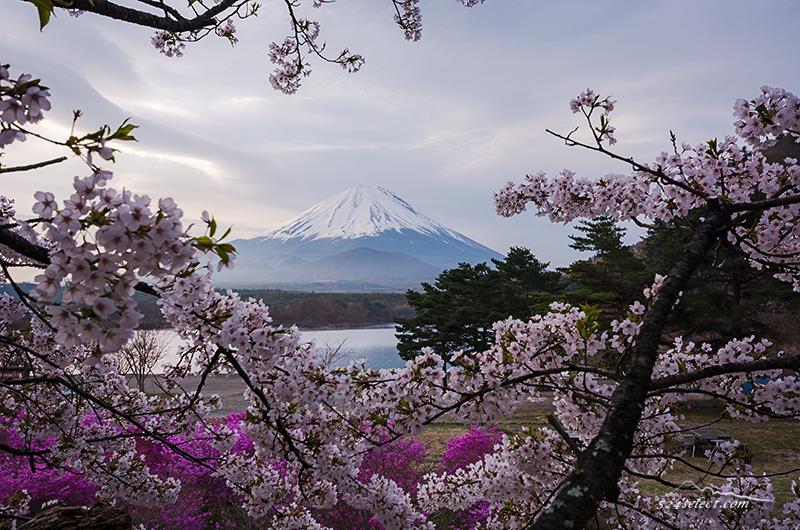 富士山と桜〜ゴールデンウィークに桜の花見ができる精進湖!富士五湖で楽しむお花見