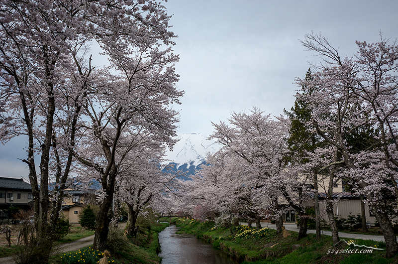 満開の忍野「新名庄川沿いの桜と富士山」冠雪の冨士に映える桜並木