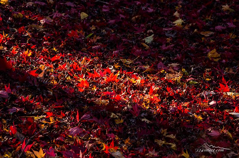 彩り豊か神代植物公園の紅葉〜落ち葉の絨毯見頃を撮影する!光と影が色づく紅葉を演出するカエデエリア