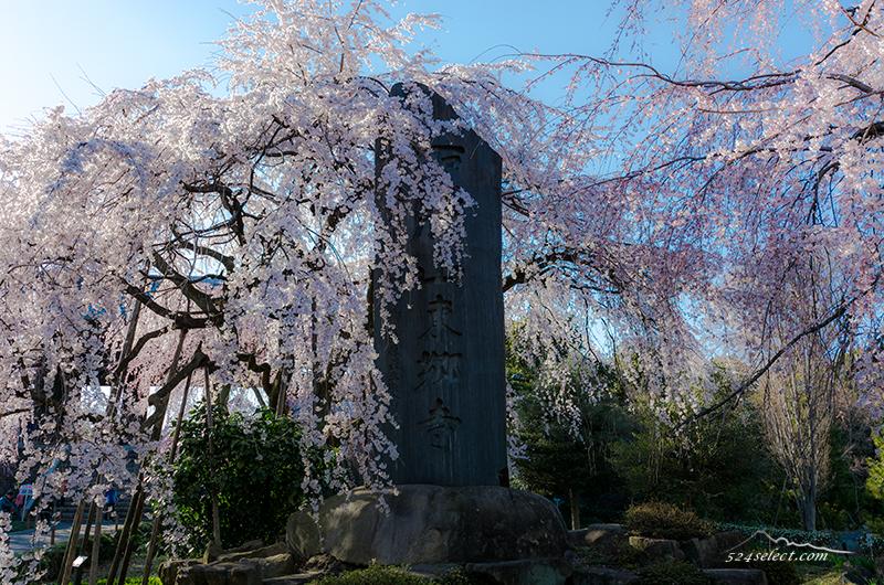 東郷寺 満開のしだれ桜 東京都府中市桜の撮影スポット!都内のお花見と撮影ポイントの穴場