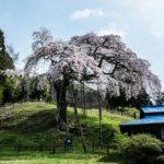 外大野のしだれ桜を撮影〜2016茨城県大子町の桜散策旅!撮影スポットと開花状況提供者に感謝