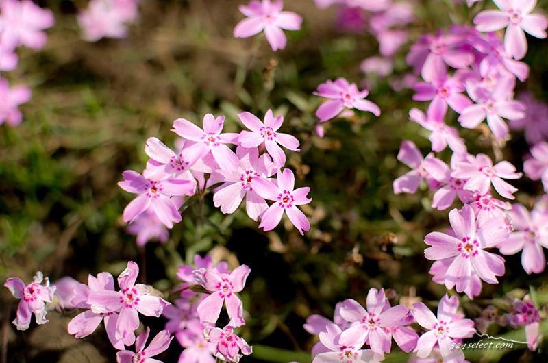 秩父春の名所〜埼玉県秩父市羊山公園芝桜の丘で満開の芝桜!見頃の期間も長い一面のお花見